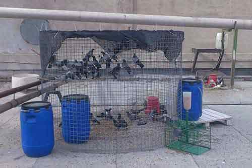 Jaulas para captura de palomas y pájaros