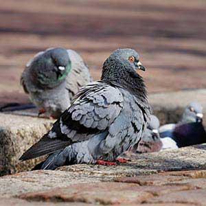Control de palomas en Teruel
