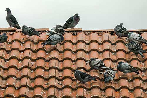 Palomas en tejados y casas